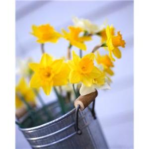 Patrice Koerper  Life Coach Wishful Thinking Daffodils