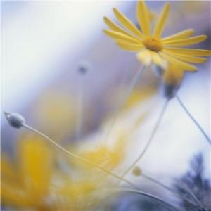 Patrice Koerper  Life Coach Wishful Thinking Soft image daisy