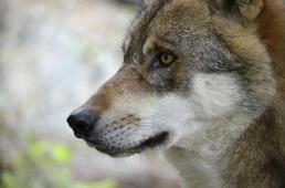 wolf-1336213_960_720