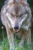 wolf-1583203_960_720