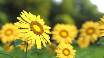 sunflower-1421011__340