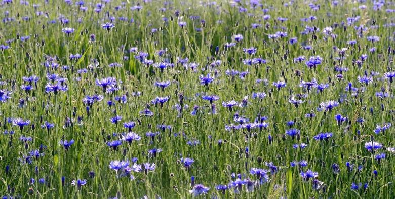 cornflowers-2412323_960_720
